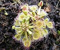 A sundew or drosera specimen growing in Darwin's greenhouse, Down House - geograph.org.uk - 1200561.jpg