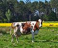 A vaca que non ri (3497307507).jpg