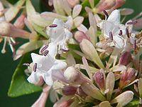 Abelia chinensis2