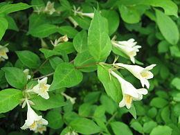 Abelia spathulata 1