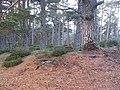 Abernethy Forest, Inchtomach - geograph.org.uk - 612760.jpg