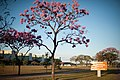Aberta a temporada de ipês roxos em Brasília (41030201320).jpg