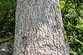 Abies cephalonica in La Jaysinia.jpg