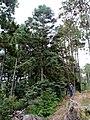 Abies durangensis, Mezquitic, Jalisco, Mexico 1.jpg