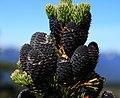 Abies lasiocarpa youngcones.jpg