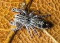 Abracadabrella elegans, Townsville QLD 2012.jpg