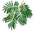Acacia ataxacantha, vyf blare, Skeerpoort.jpg
