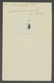 Acalles - Print - Iconographia Zoologica - Special Collections University of Amsterdam - UBAINV0274 030 03 0030.tif