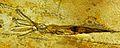Acanthoteuthis speciosa solnhofen.JPG