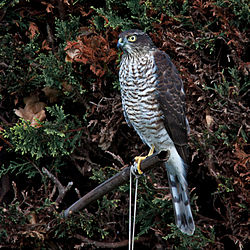 Accipiter nisus -Williton, West Somerset, England-8 (1).jpg