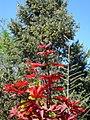 Acer palmatum (33757559320).jpg