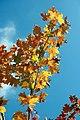 Acer x freemanii Autumn Blaze 5zz.jpg