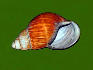 <i>Archachatina bicarinata</i> Species of gastropod