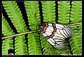 Achelura sanguifasciata (5126305268).jpg