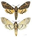 Acherontia styx styx MHNT Female.jpg