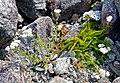 Achillea millefolium (14995844061).jpg