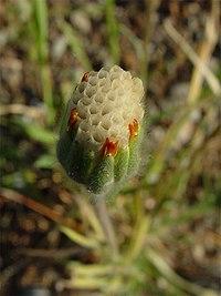 Achyrachaena mollis 002