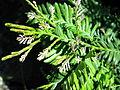 Acmopyle species.JPG