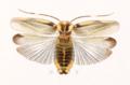 Acroblatta luteola.png