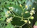 Acronychia pedunculata flowers 03.JPG