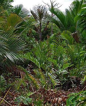Acrostichum aureum - Growing among Metroxylon sagu in Indonesia
