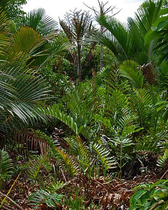 Acrostichum - A. aureum growing in Indonesia