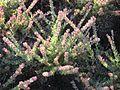 Adenanthos cuneatus 'Coral Drift'.jpg
