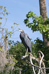 Adult little blue heron.JPG