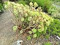 Aeonium balsamiferum - University of California Botanical Garden - DSC08920.JPG