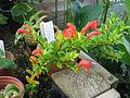 Aeschynanthus buxifolius (21576875175).jpg