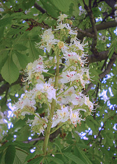 <i>Aesculus</i> Genus of flowering plants in the family Sapindaceae