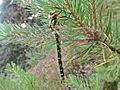 Aeshna cyanea (Southern hawker) female, Gennep, the Netherlands - 2.jpg