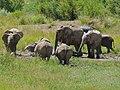 African Elephants (Loxodonta africana) and White Rhinos (Ceratotherium simum) (6889693858).jpg