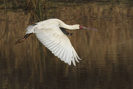 African Spoonbill (Platalea alba) in flight over Mankwe Dam at the Pilanesberg Game Reserve, South Africa