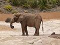 African bush elephant - afrikanischer Elefant - Éléphant de savane d'Afrique - Loxodonta africana - 02.jpg