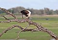 African fish eagle, Haliaeetus vocifer, at Chobe National Park, Botswana (32832142473).jpg