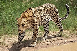 African leopard, Panthera pardus pardus, near Lake Panic, Kruger National Park, South Africa (19448654130).jpg