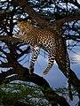 African leopard male.jpg