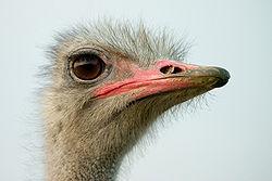 definition of ostrich