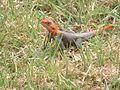 Agama Lizard - Male.JPG