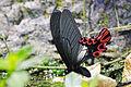 Agehana maraho male ventral view 20150516.jpg