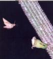 Agrius cingulatus em flor de Pilosocereus pachycladus EARMLucena2007.png