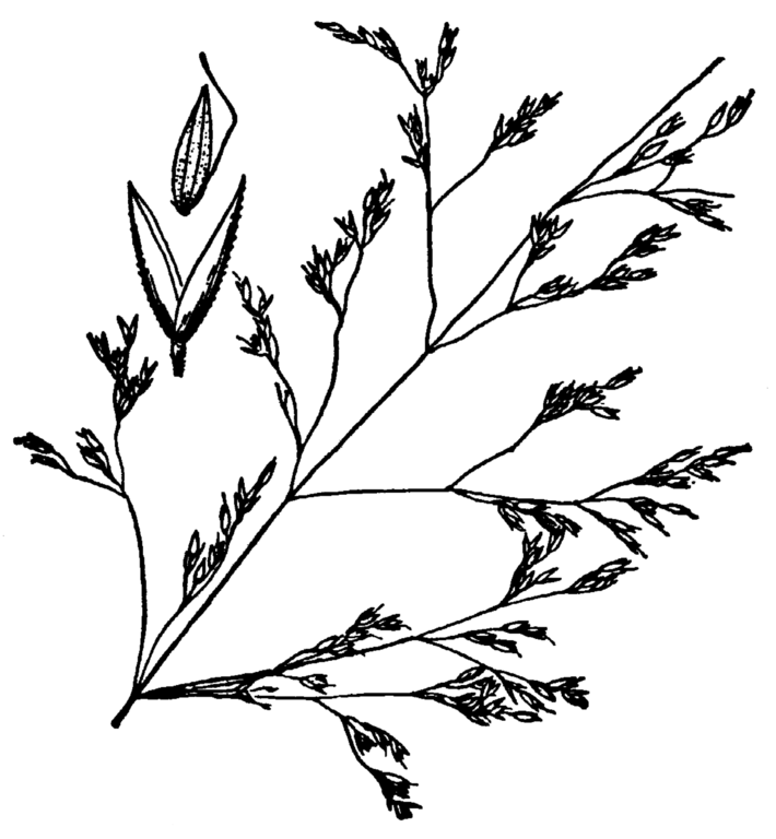 Fileagrostis Hooveri Drawing