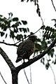 Aguililla Caminera, Roadside Hawk, Buteo magnirostris (11916398076).jpg