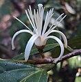 Alangium salviifolium leaves and flowers 09.JPG
