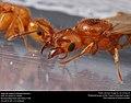 Alate ant queens (Pheidole dentata) (42195366492).jpg