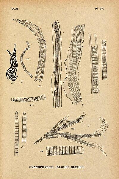 File:Album général des Cryptogames, Pl. 371.jpg