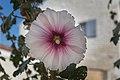 Alcea rosea (Rose trémière) - 20150810 11h27 (11047).jpg