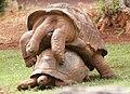 Aldabra Tortoises.jpg