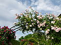 Allée de roses Jardin des Plantes 2.JPG